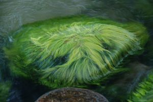 911816 algae Corn ethanol curse strikes again? Algae fuels have large footprint