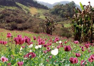 opium poppies Climate change causes ... heroin addiction?