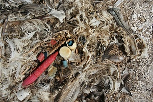 Albatross Chick with Plastic 10 things you should know about the Great Pacific Garbage Patch