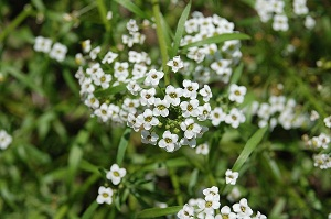 Alyssum Cleaning Land for Wealth Warwick Flower biofactories could clean up polluted land, water