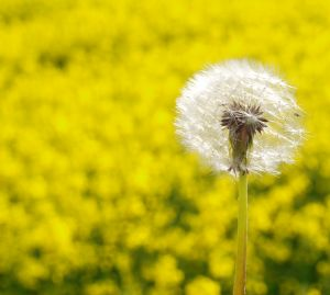 Dandelion Gesundheit! Get ready to say it much more by 2040